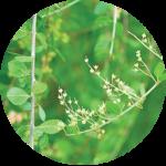 Lawsonia Inermis Leaf Extract
