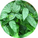 ใบย่านาง - Limacia triandra Miers