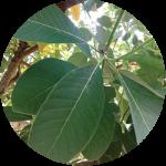 Litsea Glutinosa Leaf Extract